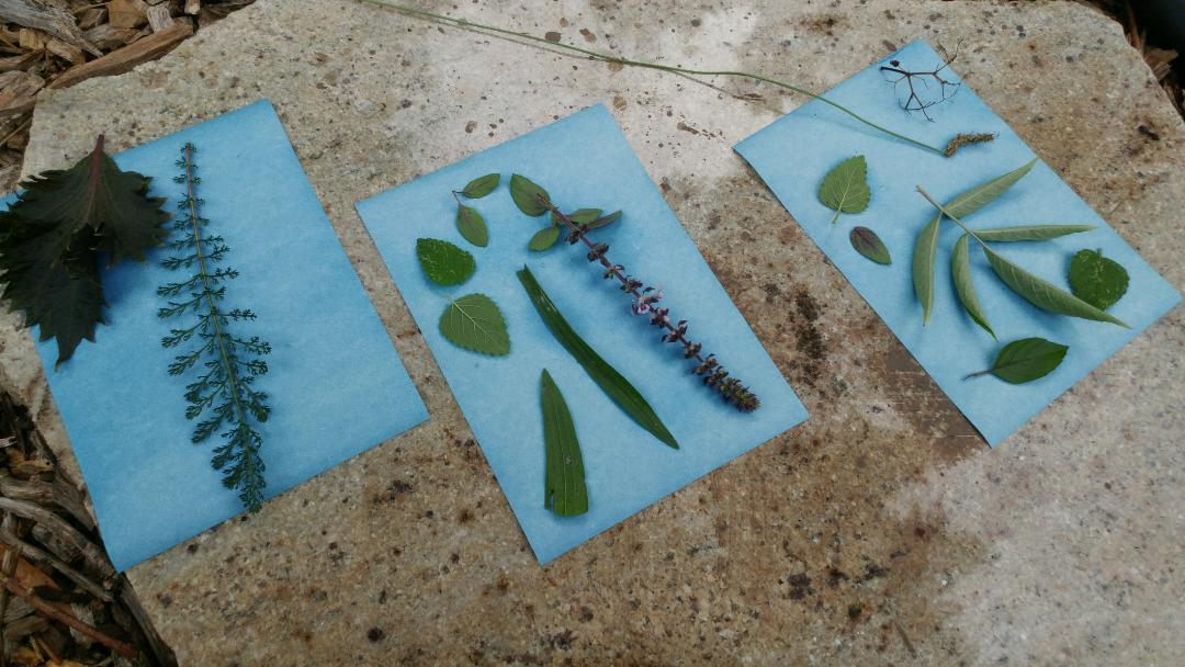Making Solar Herb Prints with Kids