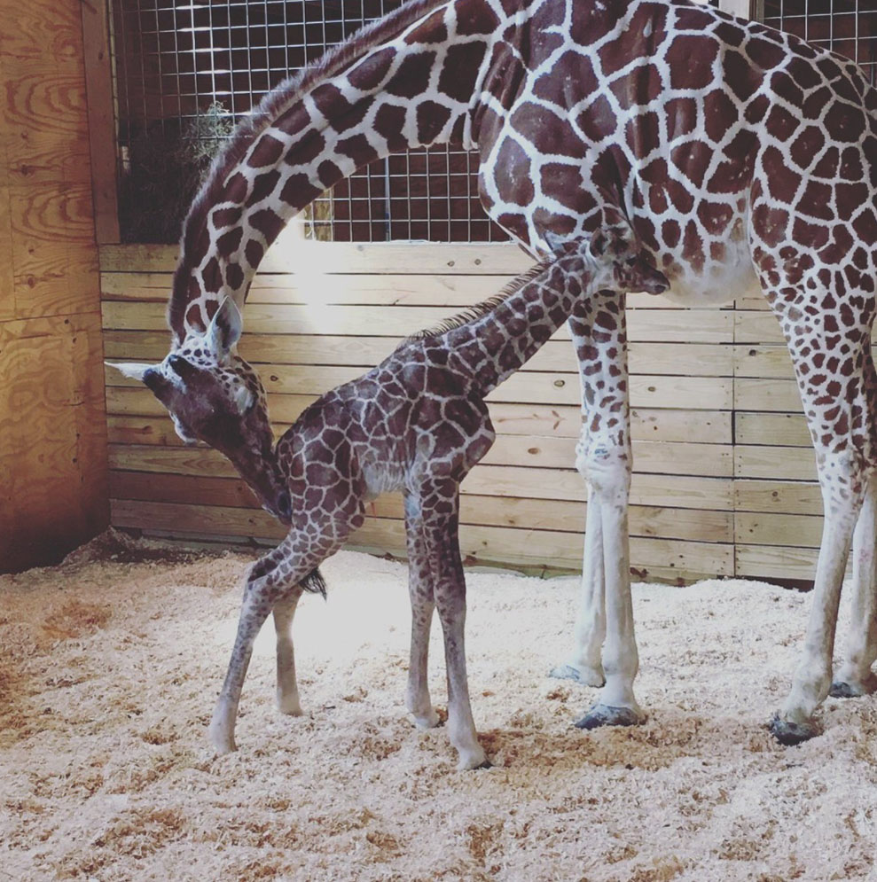 5 Things Humans Can Learn From April The Giraffe's Birth
