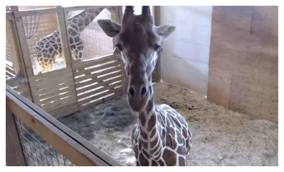 We don't normally cover animal pregnancies, but we do love a good birth story!