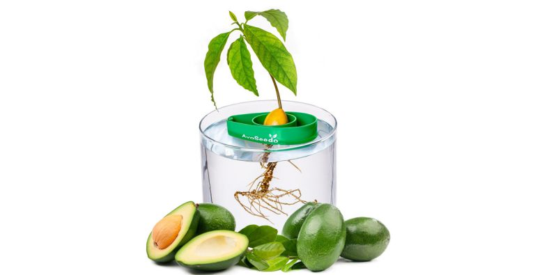 Grow Your Own Avocado Trees at Home With AvoSeedo Starter Kit