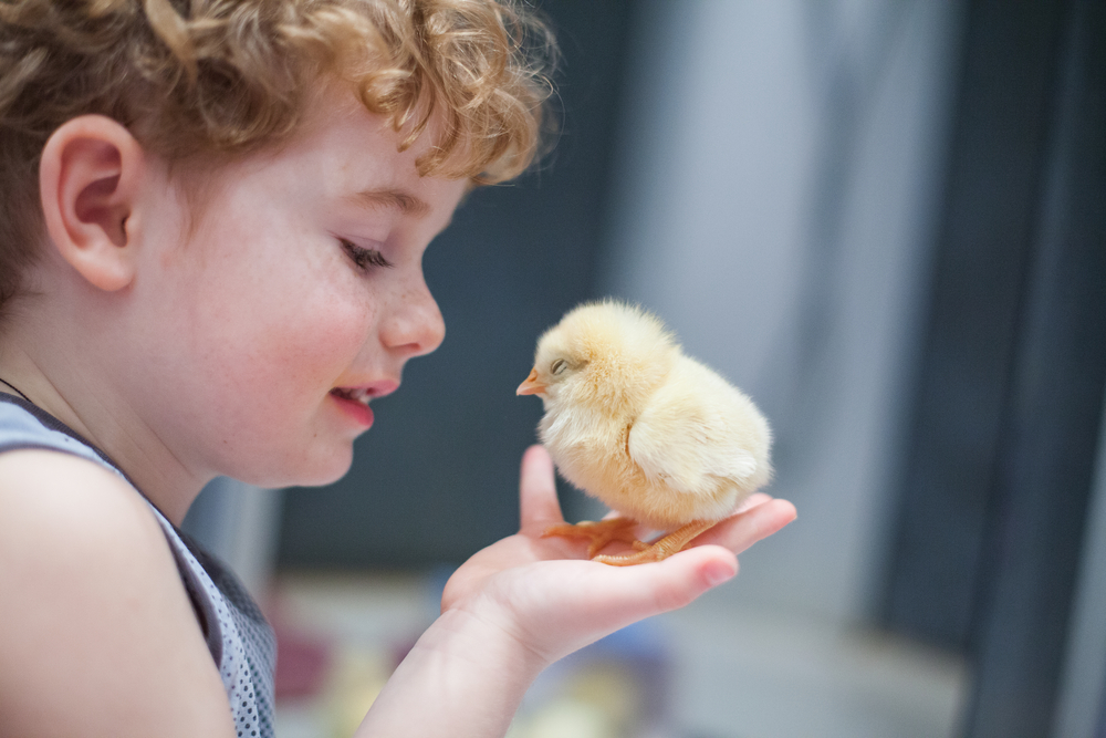 This fall, we struck out on a new adventure -- hatching our own eggs at home!