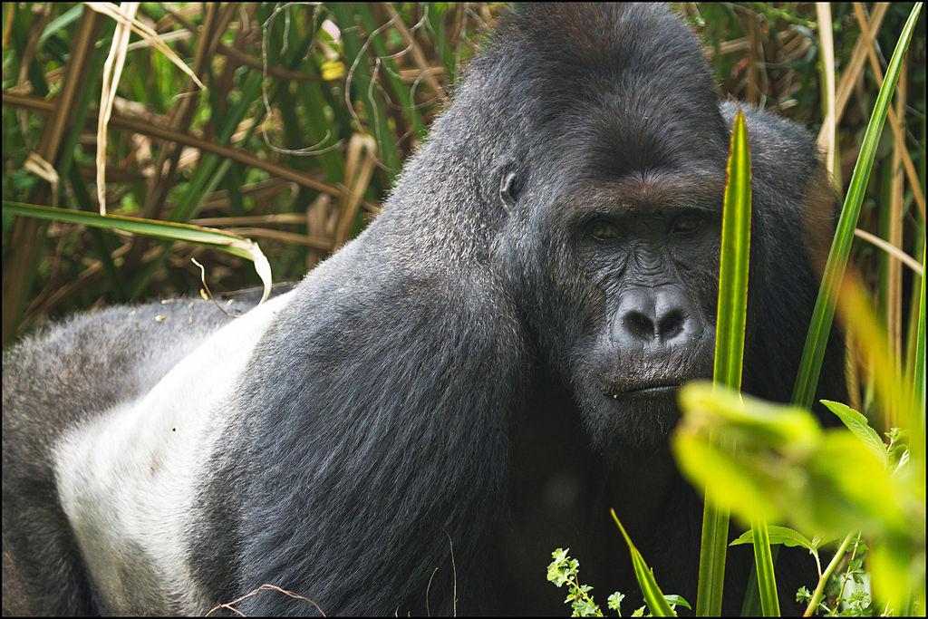 Eastern_lowland_gorilla