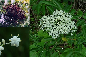 Elderberries for Cold and Flu Prevention