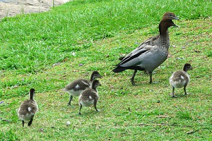 It's spring - little downey ducklings escorted everywhere by angry parents.