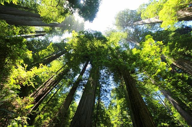 sequoia-274158_640