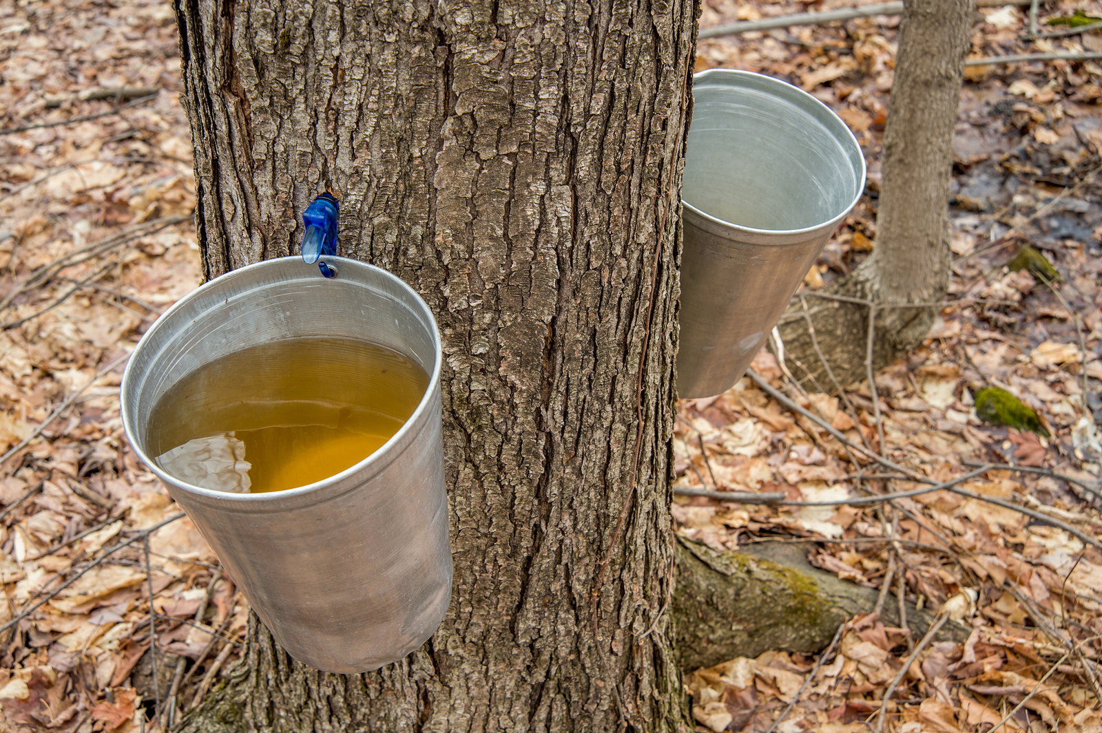An anticipated Spring activity in my neck of the woods is making maple syrup.