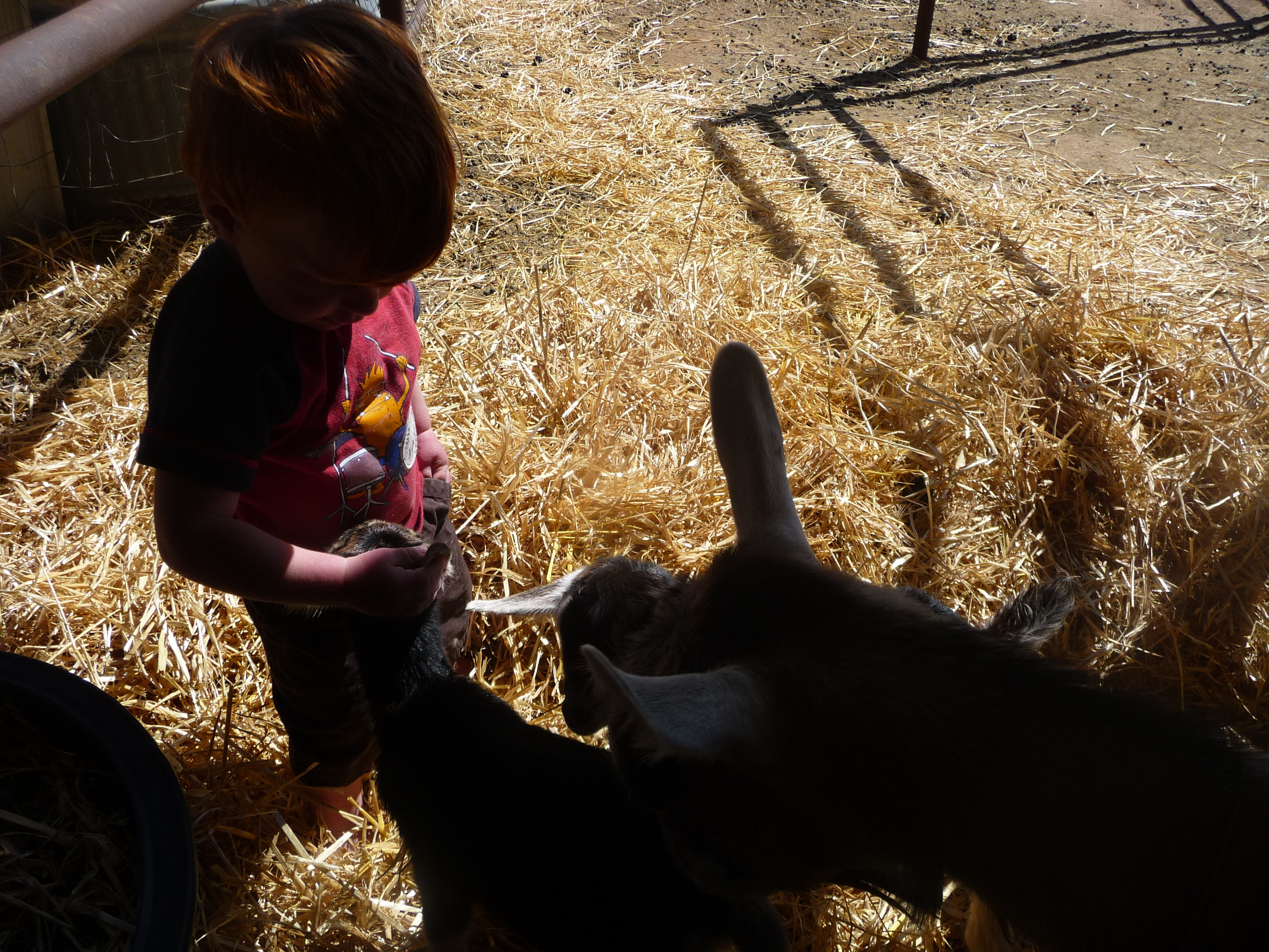 Meeting the new kids (goat kids, that is)!
